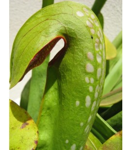 Sarracenia Minor- Planta carnivora