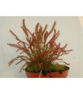 Drosera- Plantă carnivoră