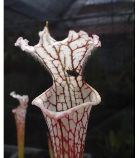 Sarracenia Leucophylla - Planta carnivora