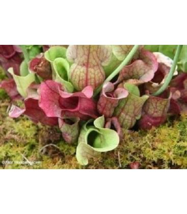 Venosa Burkii - Planta carnivora