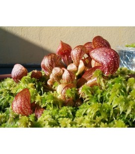 Ulciorul papagal - Planta Carnivora