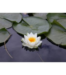 KIT Lotus (Nufăr)