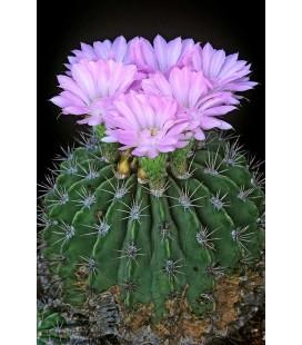 KIT Cactus - Violaceum