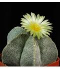 KIT Myriostigma - cactus