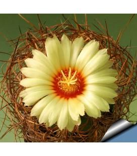 KIT Senile aureum- cactus