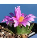 KIT Bravoanus- cactus