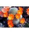 KIT muscula- cactus