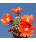 KIT robustispina- cactus