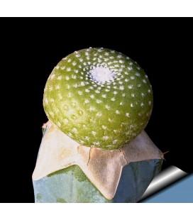 KIT liliputana- cactus