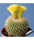 KIT graessneri- cactus