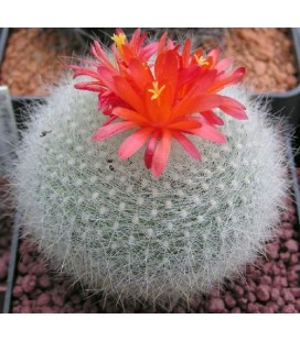 KIT haselbergii- cactus