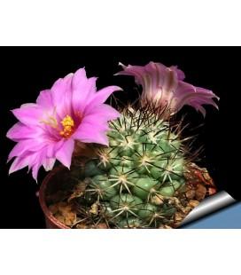 KIT schumannii- cactus
