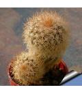 KIT baileyii- cactus