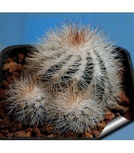 KIT reichenbachii - cactus