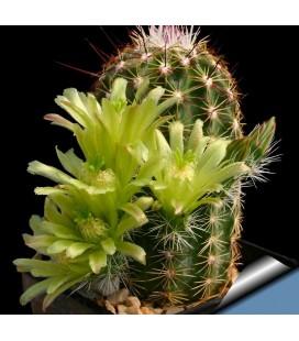 KIT viridiflorus - cactus