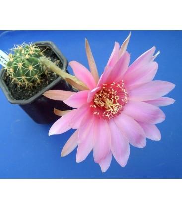 KIT caliantholilacina- cactus