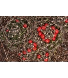 KIT micromeris- cactus
