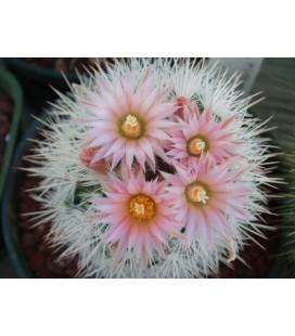 KIT albicolumnaria- cactus