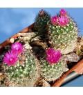 KIT vivipara- cactus