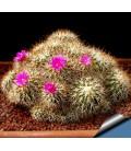 KIT horripilus - cactus