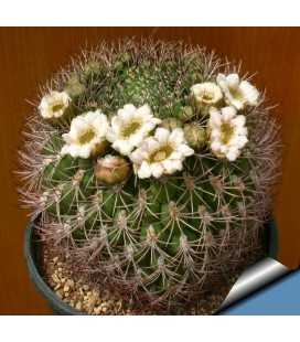 KIT saglionis- cactus