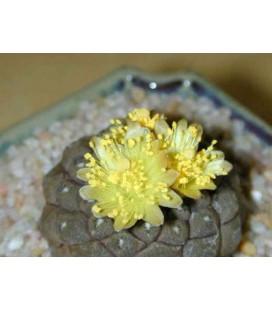 KIT islaya- cactus