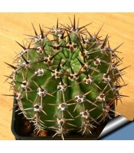 KIT aurea- cactus