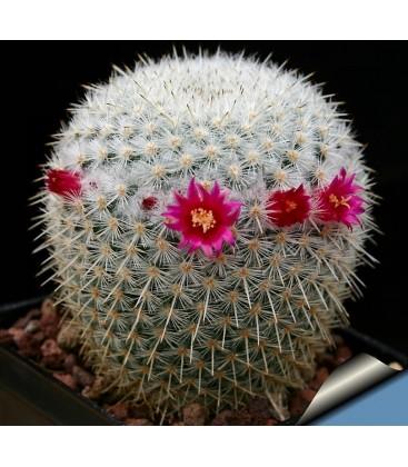 KIT albilanata- cactus