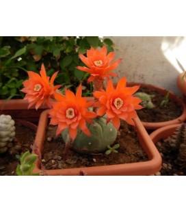 KIT madisionorum - cactus