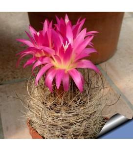KIT multicolor - cactus