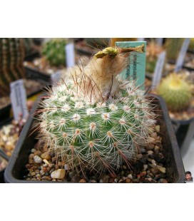KIT brederoianus- cactus