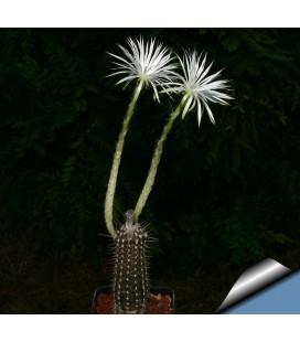 KIT mirabilis- cactus