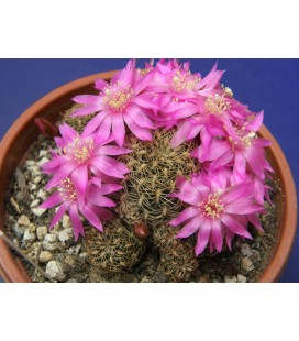 KIT clizensis- cactus
