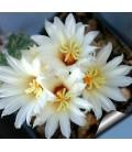 KIT disciformis- cactus