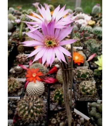 KIT poselgeri- cactus