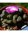 KIT pulchra- cactus