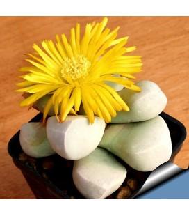 KIT lapidaria- cactus