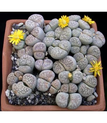 KIT lithops- cactus