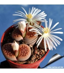 KIT halii- cactus