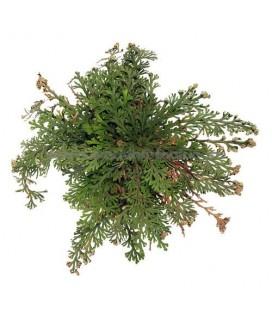 Planta nemuritoare