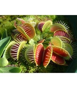 KIT Planta carnivoră - Venus